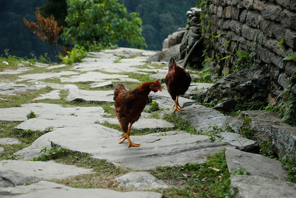 Nepal Hühner Annapurna