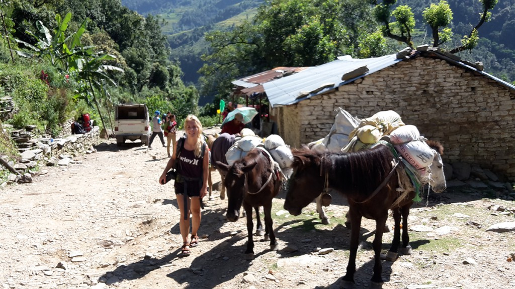 Mulis auf dem Annapurna Trek in Nepal