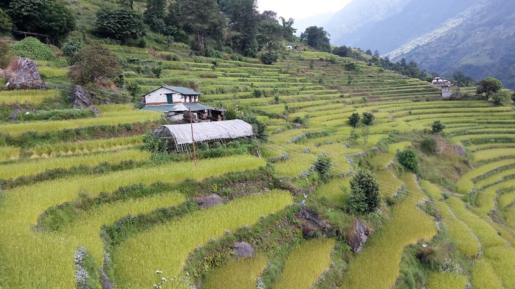 Reis und Hirse in Nepal auf dem Annapurna Circuit