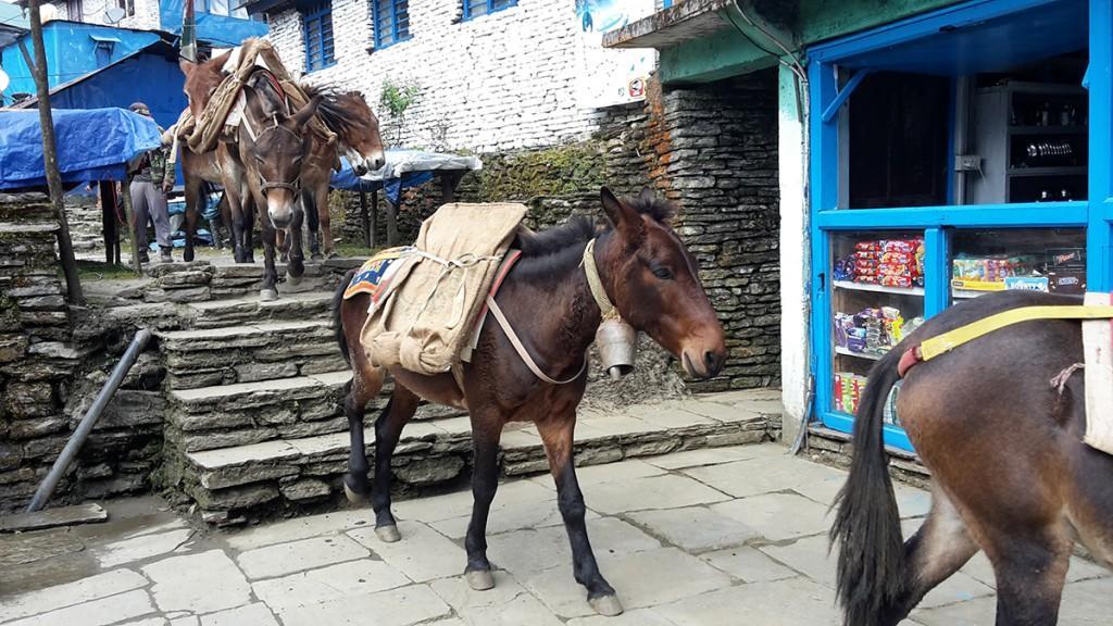 Nepal_Trek_ Gandruk_Muli